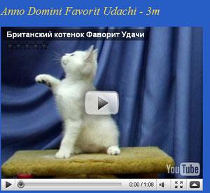 Британские котята на видео