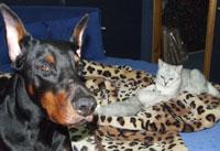Британские котята шиншилла Kitten british shorthair: cinchilla, silver shaded