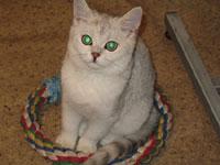 Британский кот шиншилла british shorthair: cinchilla, Anno DominiИзображение