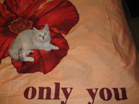 Британский кот шиншилла british shorthair: cinchilla, Anno Domini