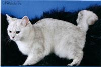 Британский котенок шиншилла, british shorthair: cinchilla, Питомник