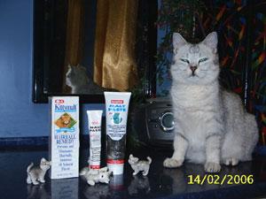 Британские котятя шиншилла, british shorthair: cinchilla, Питомник