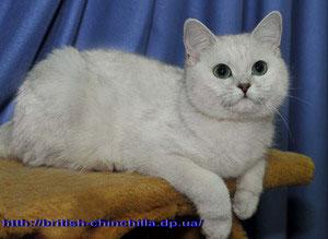 Британская кошка серебристая шиншилла