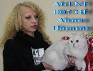 Британский кот шиншилла AGENT 007 Of Anno Domini