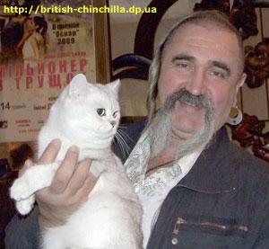 Британский кот шиншилла  Агент 007